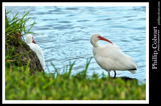 """White Ibis."" 12-2016. Image © Phillip Colwart Photography 985.542.8216."